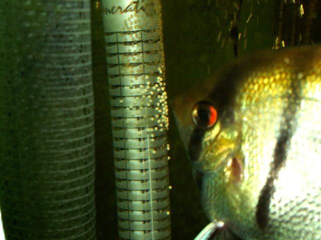 Skalary w moim akwarium