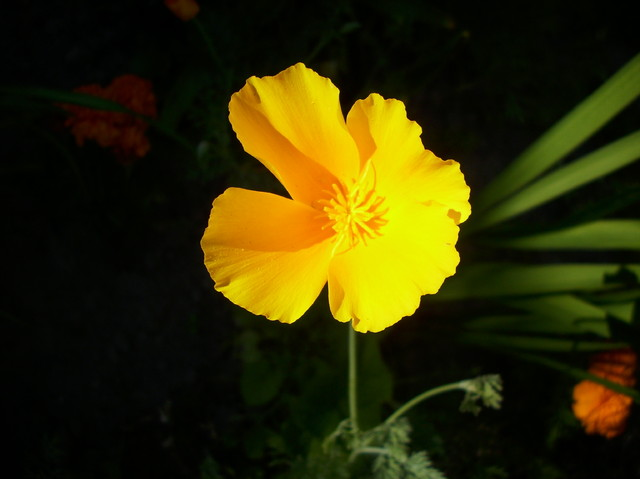 Żółty maczek