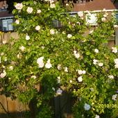 Bialo rozowa roza