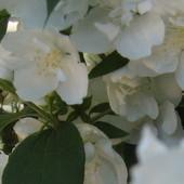 biały krzaczek
