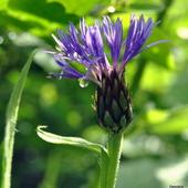 Chaber górski-Centaurea dealbata