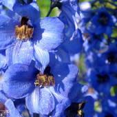 Cudowny błękit ostróżki