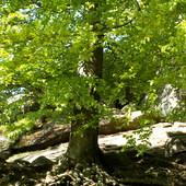 ...duże drzewo...