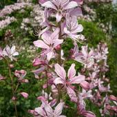 Kwiat Dyptamu