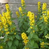Kwiat luz chwast--ale ladnie kwitnie