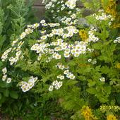 kwiatuszki podobne  do rumianku---ale nie rumianek