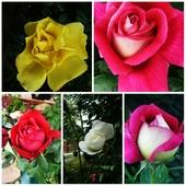 kwitnące różyczki
