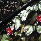 lilie wodne w oczku
