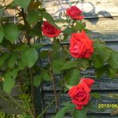 Moja  trzecia roza