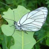 Nowy motyl