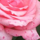 Piegowate różę