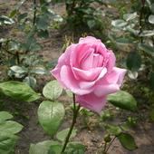Pierwsza róża