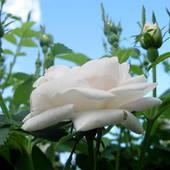 Pierwsze różyczki