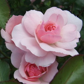 Róża królowa kwiatów