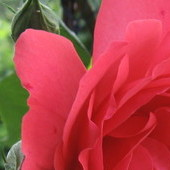 róża przy tarasie