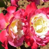 Róże Portugalii
