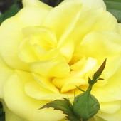 róże przed tarasem