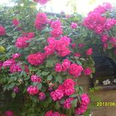 Roze w pelni kwitnienia