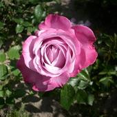 Różowe piękno