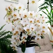 Storczyk Falenopsis z 122 kwiatkami