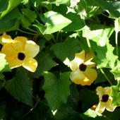 Tunbergia w słońcu