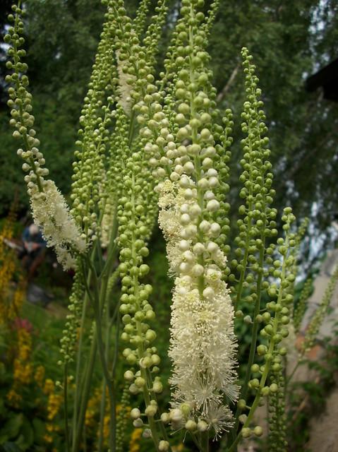 Kwiatostany pluskiwcy groniastej