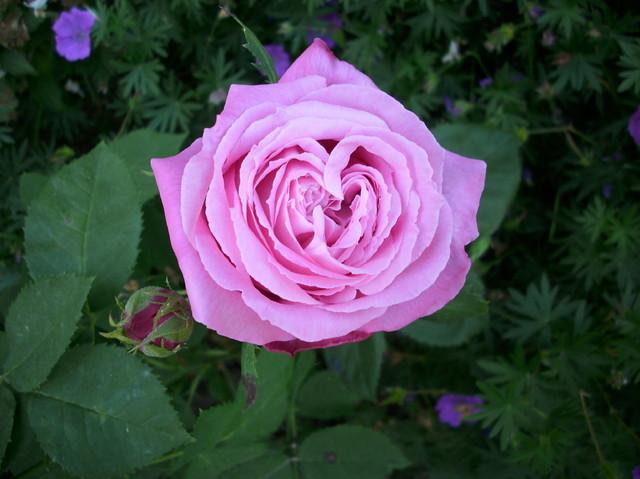 Róża z sercem