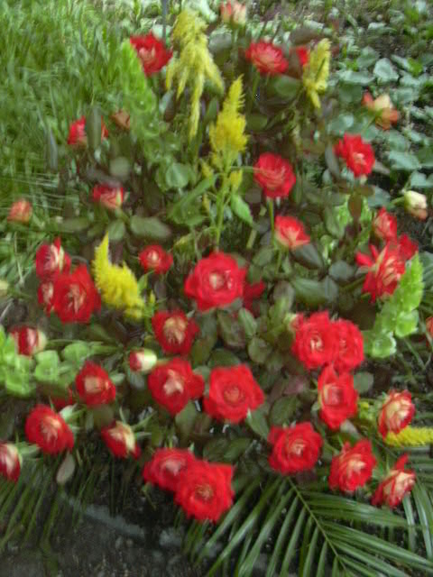 Róże z ogrodu botanicznego