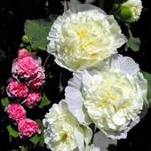 Biała z różową w tle :-)