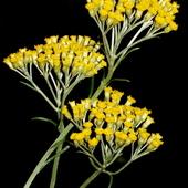Curry plant/Helichrysum italicum/