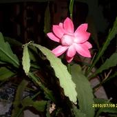 Kaktusowaty