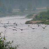 Kormorany ( rzeka Warta)