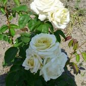 Królowa ogrodu... róża biała
