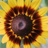 kwiatuszek rudbeki