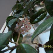 kwitnaca hoja