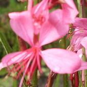 Motylek....różowy
