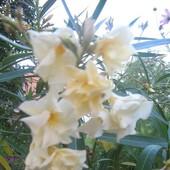 oleander- biały