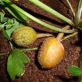 owoce czerwono kwitnącego kasztana