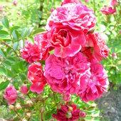 Róża różowa pnąca