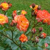 Rózie