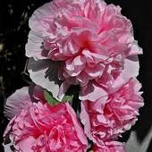 Różowa z adoratorem ;-)