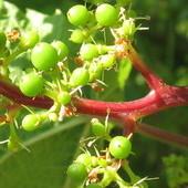 winogrono  -ciemne owoce