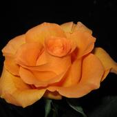 AniuS - urodzinowa róża ...