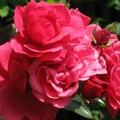 bukiecik pnacej róży...