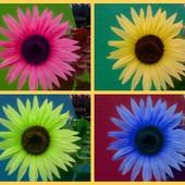 Kolorowy słonecznik