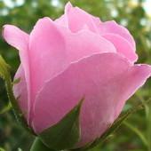 Róża jak pałeczka...