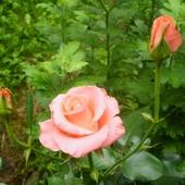 Różowe róże :)