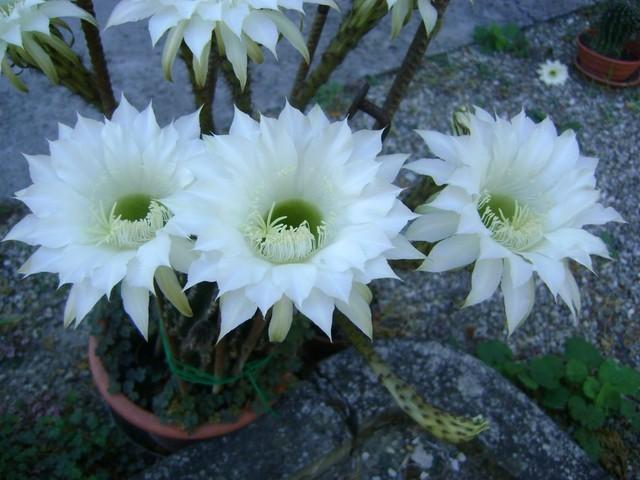 kwitnace kaktusy