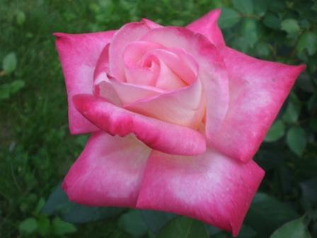 Róża raz jeszcze...