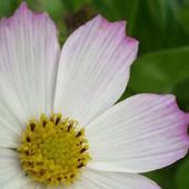 Biało - różowy kosmos